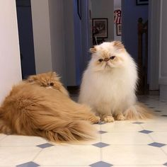 Discover the important thing you need to know before you buy persian cat online. These considerations will help you buy a cat without disappointed. Pretty Cats, Beautiful Cats, Cute Cats And Kittens, Kittens Cutest, Flat Faced Cat, Cat Online, Fluffy Cat, Buy A Cat, Cute Creatures