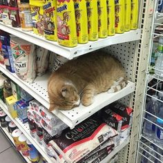 Cat sleeping on the job - your daily dose of funny cats - cute kittens - pet memes - pets in clothes - kitty breeds - sweet animal pictures - perfect photos for cat moms I Love Cats, Crazy Cats, Cute Cats, Funny Cats, Animals And Pets, Baby Animals, Funny Animals, Cute Animals, Chat Kawaii