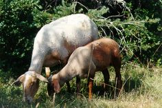 breed sheep Roussillon Red