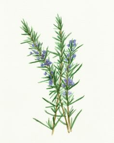 Free Herb Watercolor Printables: Rosemary and Oregano! - The Graphics Fairy