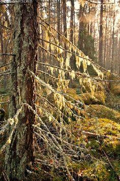 Naava - naava oksat kuusi sekametsä sammal sammaleinen maasto syksy metsä… Autumn Photos, Evergreen Trees, Finland, National Parks, Plants, Photography, Outdoor, Beautiful, Pictures