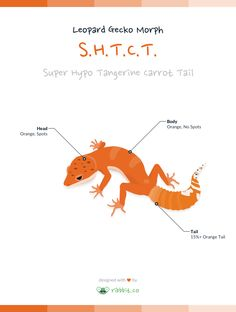 A super hypo tangerine carrot tail leopard geckohasa tangerine or orange coloration throughout the body and head, with no dark spots on the body, andorange coloration on 15% or more of the tail.