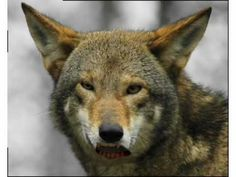 talking red wolf: Introduction to Habitat and Niche.