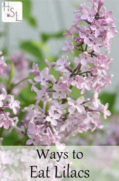 Make the most of showy and edible spring flowers with these 12 ways to eat lilacs that include drinks, desserts, and preservation methods.