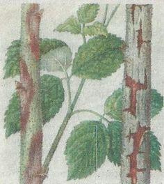 Болезни малины - Сады Сибири