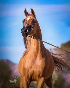 flame dancer arabian mare little liza