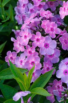 Image of Rainbow Dancer Phlox Phlox Flowers, Flowers Perennials, Flowers Nature, Exotic Flowers, Colorful Flowers, Pink Flowers, Planting Flowers, Beautiful Flowers, Mixed Border