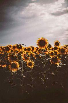 28 Best Ideas For Sunflower Wallpaper Vintage Iphone Sunflower Iphone Wallpaper, Flower Phone Wallpaper, Iphone Background Wallpaper, Tumblr Wallpaper, Aesthetic Iphone Wallpaper, Nature Wallpaper, Aesthetic Wallpapers, Sunflower Photography, Nature Photography