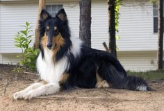 My Collie dog