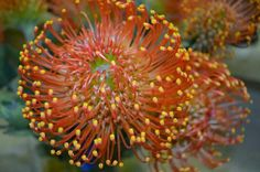 Pin Cushion Protea.