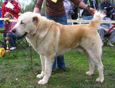 Iranian Central Asian Shepherd | Pedigree database Central Asia Shepherd Dog » SHER-GIZ ZHOLBORS