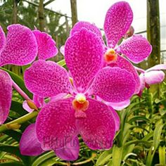FiftyFlowers.com - Vanda Orchids Fuchsia Magic  @Laura K