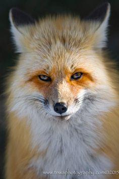 Red Fox by Debbie Tubridy on 500px