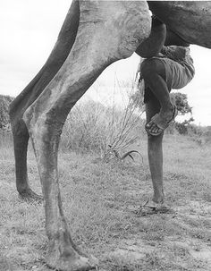 Balancing act to milk the tall camels in Somalia.