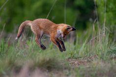 Red Fox Cub by Maciej Kozlowski on 500px