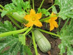 Καλλιέργεια κολοκυθιών Zucchini, Planters, Vegetables, Health, Flowers, Outdoors, Gardening, Decoration, Gardens