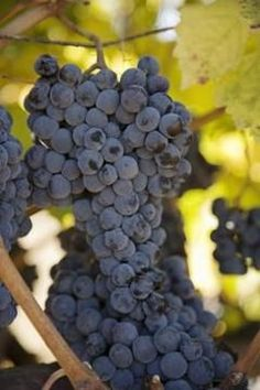 There are a variety of organic methods for controlling pests on grapevines.