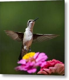 Hummingbird Metal Print by Christina Rollo.  All metal prints are professionally…