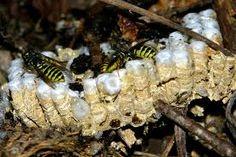 Wesp en wespen in dit artikel bekijken we het leven van de sociale wespen. Dit zijn wespen die samen met één koningin een volk vormen en samenleven in een nest. De wesp en het wespenvolk, interessant om over hun leven wat meer te weten te komen.