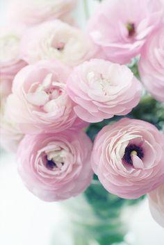 pale pink ranuculus