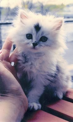 Sweet Persian Kitten - Spoil your kitty at www.coolcattreehouse.com