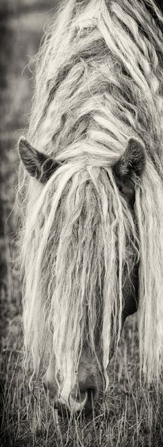 Sable Island Horses ~ that's a lot of hair