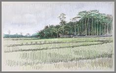 Travel Drawing: Rice Fields near Borobudur, Java, Indonesia Prismacolor Pencil and Pen on Paper x 2017 Borobudur, Travel Drawing, Prismacolor, Cactus Plants, Embroidery Patterns, Fields, Bali, Drawings, Illustration