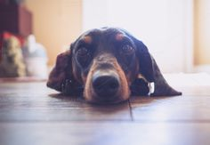 Dachshund Dog Resting on Floor by Shots by Sleeven on Creative Market