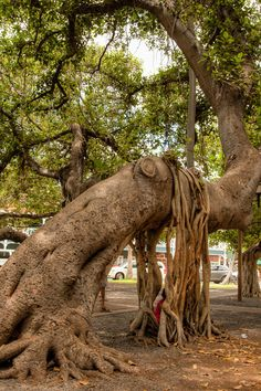 Underneath the popular Banyan Tree in downtown Lahaina.
