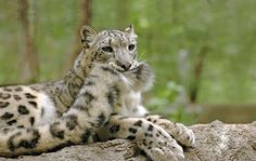 Snow Leopards Love Nomming On Their Fluffy Tails (12 Pics)