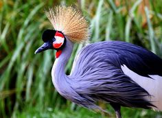 Crowned crane [Balearica pavonina] by Rainer Leiss on 500px