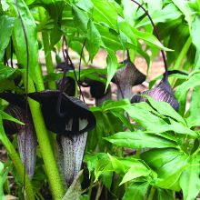 Dominatrix Jack-in-the-Pulpit for sale buy Arisaema thunbergii ssp. urashima