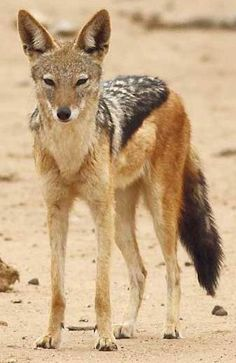 Black Back Jackal