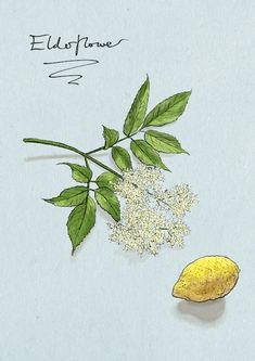 @caughtbytheriver June's calendar flower -  elderflower