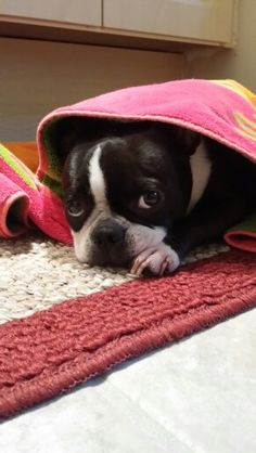 How to Toilet Train a Dog - Helping Puppies Boston Bull Terrier, Baby Boston Terriers, Toy Fox Terriers, Dog Love, Puppy Love, American Dog, Training Your Dog, Mans Best Friend, Best Dogs