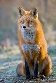 Left fox