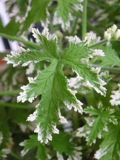 frosted scented geranium leaf by velvetmarmoset, via Flickr