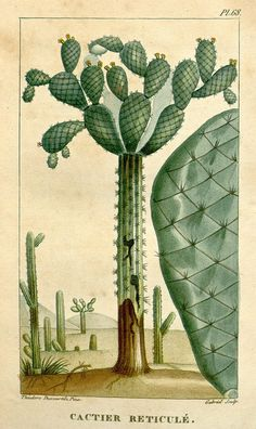 Botanical illustration of cactus from the Biodiversity Heritage Library