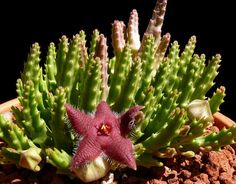 Stapelia Scitula - Bing Images