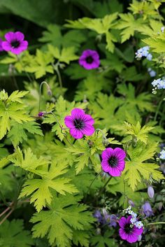 Geranium 'Ann Folkard' by anniesannuals, via Flickr. A hardy plant that likes to climb and meander through other plants. An ugly duckling in the nurseries but don't let that deter you. In the 17 yrs. I worked in the nursery business - I never once saw a nice looking plant come in from our suppliers. Once established though, these plants are gorgeous!