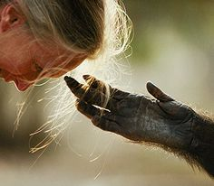 In July 1960, at the age of 26, JANE GOODALL traveled from England to what is now Tanzania and bravely entered the little-known world of wild chimpanzees. She was equipped with nothing more than a notebook and a pair of binoculars. But with her unyielding patience and characteristic optimism, she won the trust of these initially shy creatures, and she managed to open a window into their sometimes strange and often familiar-seeming lives. The public was fascinated and remains so to this day.