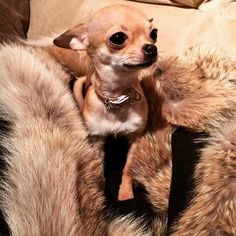 Aye Chihuahua gets comfy❤☀ Cute Chihuahua, Chihuahua Puppies, Cute Puppies, Beautiful Dogs, Animals Beautiful, Cute Animals, Mini Dogs Breeds, Miniature Puppies, Rescue Puppies