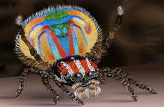 Nombre Científico: Maratus pardus  Esta especie de araña de colores de pavo real fue encontrada en el oeste de Australia y fue nombrado Pardus (del latín, leopardo) debido a los puntos como de leopardo. Este nombre además hace referencia a los movimientos felinos que la araña hace.