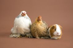 My pets. Peking chickens and Pepper the guinea pig. (c) Michelle Bean Photography  #guineapig #pets #guinea #chickens #guineapigandchickens.