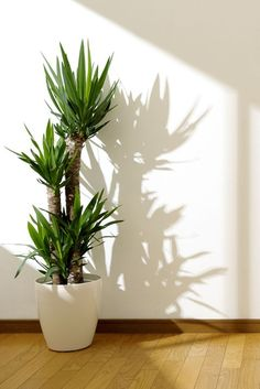 yucca plant What is your property missing? Here are 10 potted plants Invasive Plants, Potted Plants, Indoor Tree Plants, Indoor Plant Pots, Pots For Plants, Zz Plant, Big Plants, Best Indoor Trees, Indoor Palms