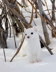 ermine in winter - we saw one on our ski hike yesterday.