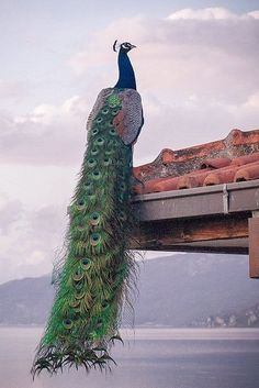 Peacock perched on the roof.