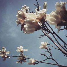 mrs.g.a.l.a#magnolia #minimalism#eksplore #magnoliatree #magnolias #pink#Travel #flowerstagram #flowerstreet #flowers #Living#Wanderlust #instagram #blueskies #thebest#tulipanfa#seattlelife #color#magnolias#blossom#blossomtrees#springflowers#pinkflowers#lake#perfectview#getoutside