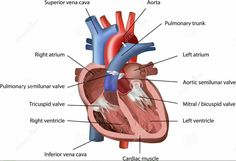 Side diagram of the heart steam diagrammatic illustration anatomie human heart ccuart Choice Image