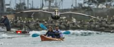 Incoming Brown Pelican, Elkhorn Slough, by John Charles Bruckman